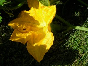 female pumpkin flower: note the round ova at the base of the bloom