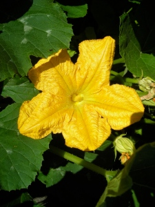 male pumpkin flower - notice the stamen in the center