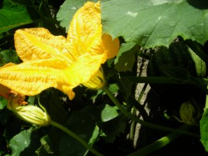 male pumpkin flower - note the lack of ova at the stem