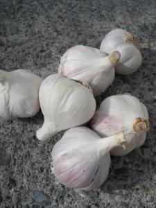 seed garlic : music hard neck variety