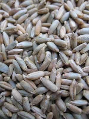 fall rye seeds