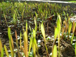 fall rye & crimson clover