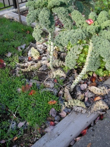 fallen kale