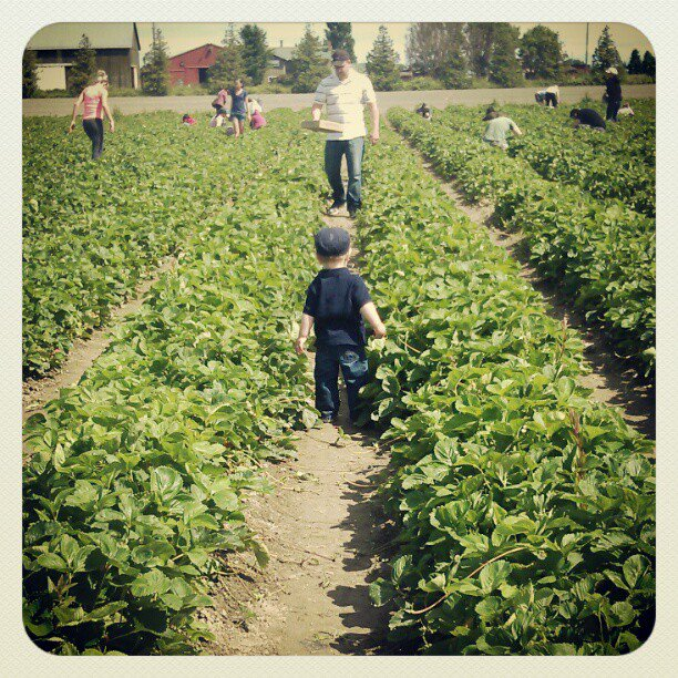 strawberry picking at westham island