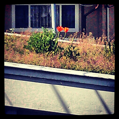 poppies growing on urban green roof