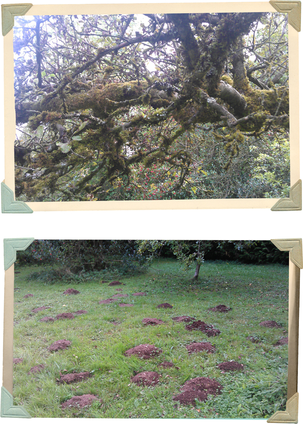 old apple trees and my lawn full of mole hills